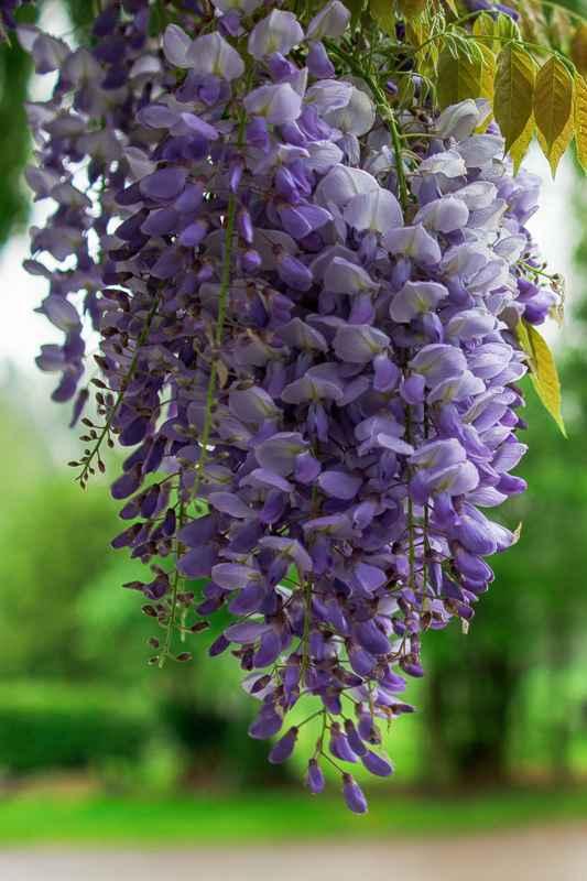 Üppiges Wachstum und tolle Blüten: Diese Kletterpflanzen eignen sich für den Balkon