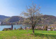 Mittelrhein-Kirschen werden Teil der Deutschen Genbank Obst